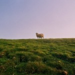 sheep-alone-by-neat-photos-flickr