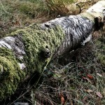 Moss on a fallen log; life goes on.