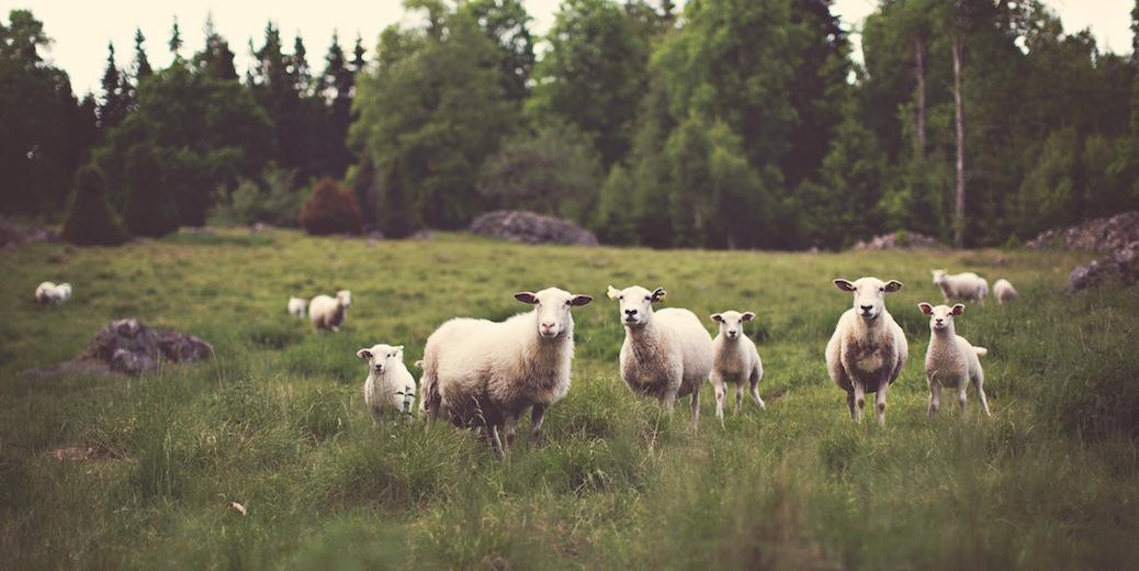 Sheep in a meadow by Jonas Nilsson Lee, Unsplash